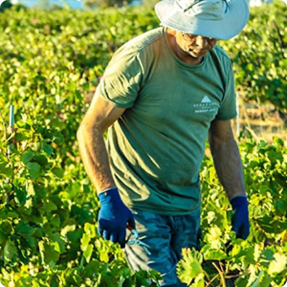 Økologiske vine